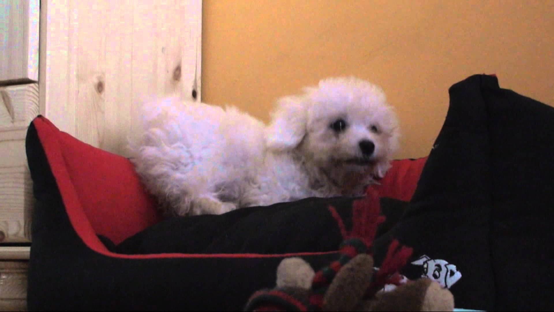 Náše štěně Bišonka jménem Dior